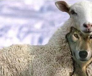 Волк в овечьей шкуре - кто это? Как вычислить. Понятие и признаки. Значение фразеологизма