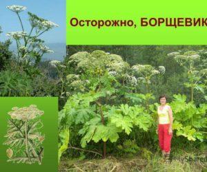 Борщевик - почему это растение самое опасное в России