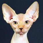 Породы кошек, живущие дольше остальных. Коты-долгожители, которые могут прожить долгую жизнь
