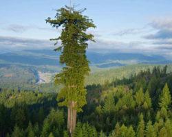 Самое высокое дерево в мире: 116 метров. Колоссальный Гиперион в Америке