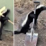 Безбашенный медоед достал весь зоопарк своими выходками (видео)