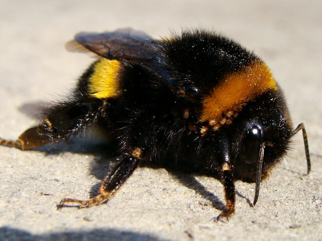 толстая пчела фото цене обычно