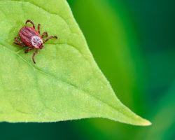 Укусил клещ: что делать и чем он опасен? Какие болезни и вирусы переносят, в какое время года нападают?