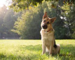 Почему собака наклоняет голову, когда человек  с ней разговаривает