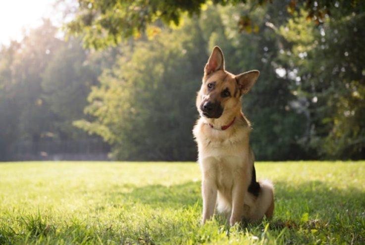 Почему собака наклоняет голову